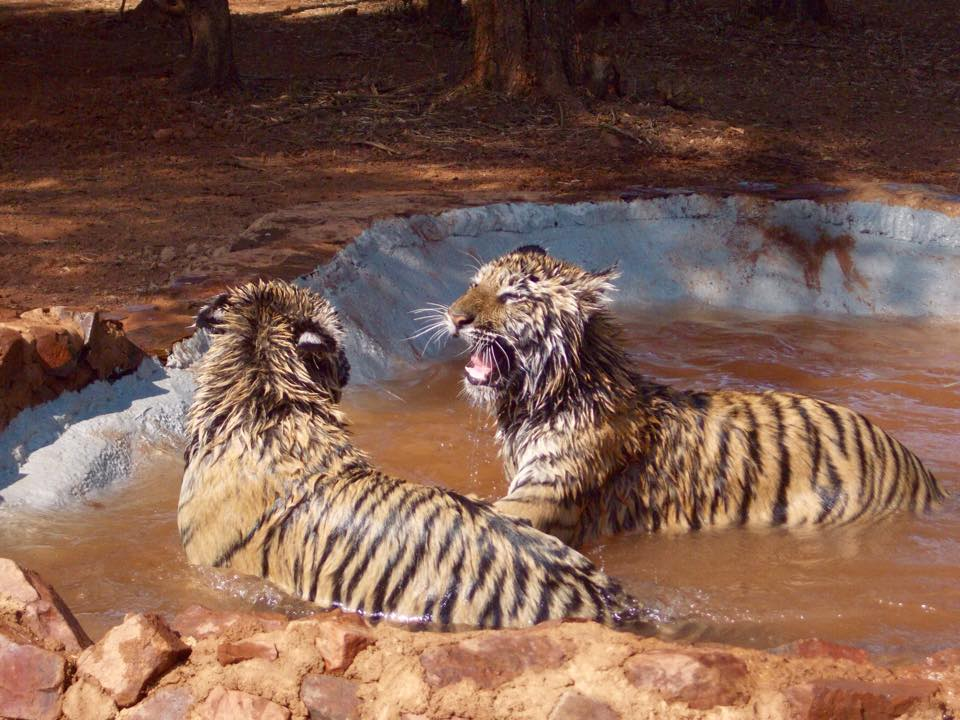 Tiger Cubs in their Pool